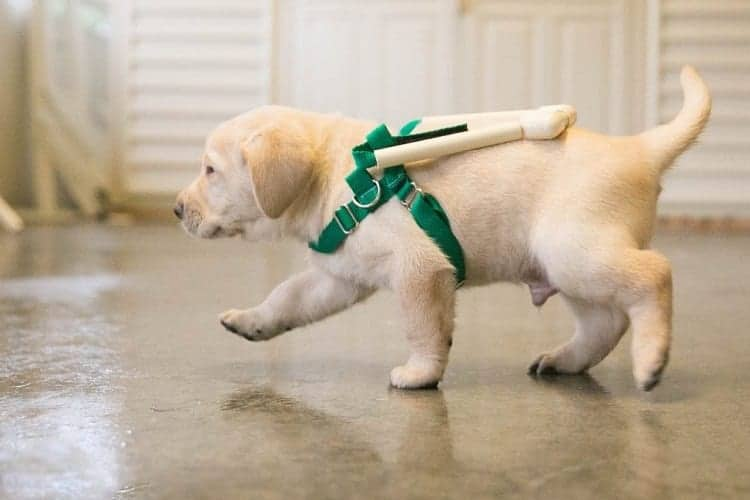 Getting Your Home Ready for Your New Golden Retriever