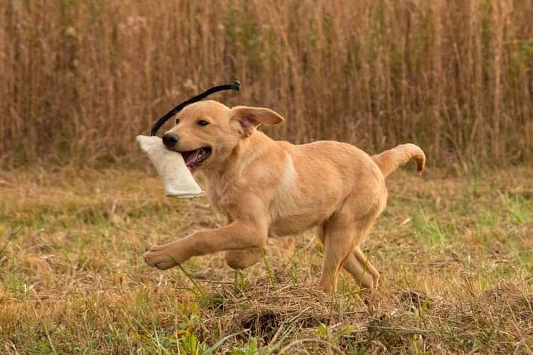 What Makes Retrievers Different From Other Dogs?